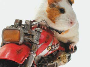 3D Wenskaart Biker Guinea Pig