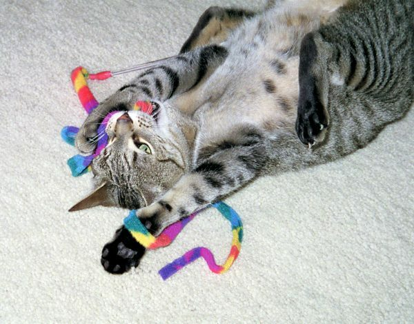 Cat Dancer Kat Charmeur