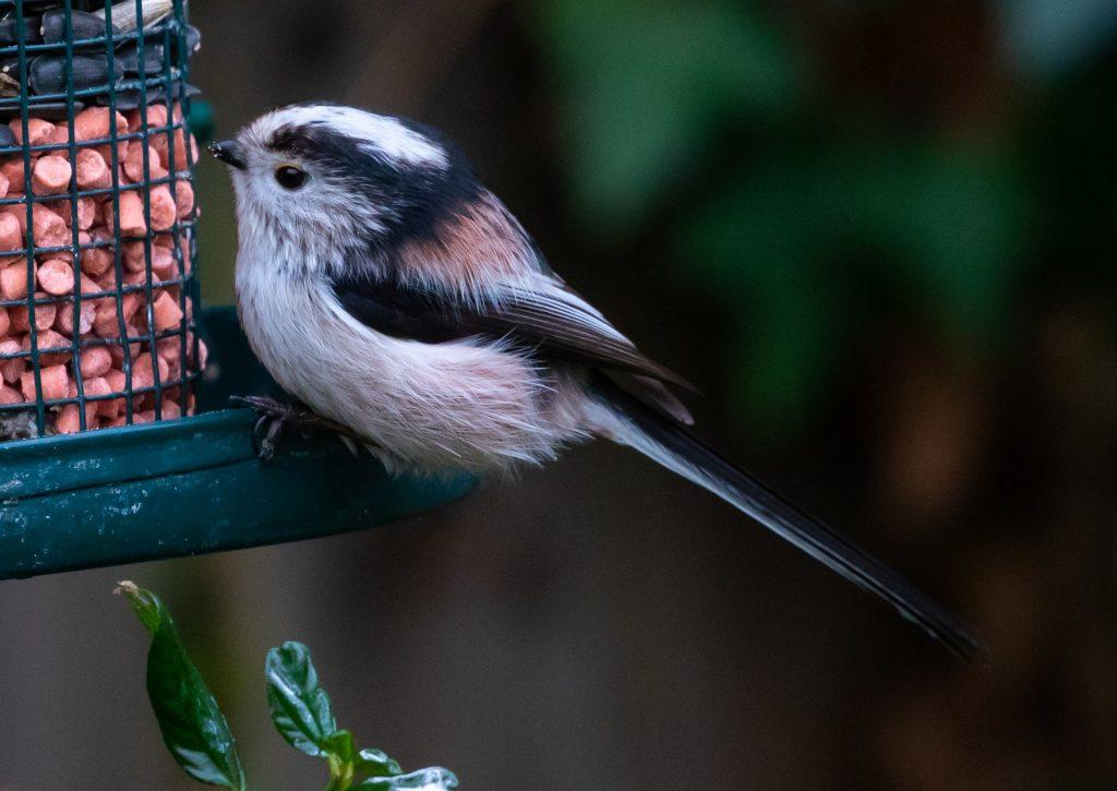 Vogelvoer voor tuinvogels - Vogels voeren in de zomer - lente - herfst